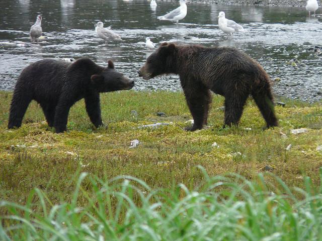 les ours bruns de Kootznoowoo